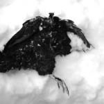 dead hen